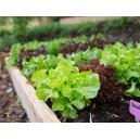 12 plants de Salade Feuille de chêne rouge motte à repiquer