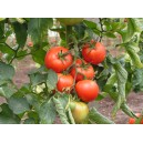 tomates le kg