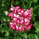 Géranium lierre double Bicolore par 1