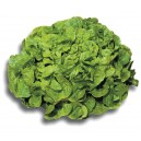 Salade feuille de chêne verte la pièce